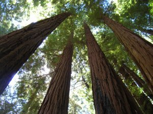 Redwood_Trees_in_Big_Sur_by_mit19237